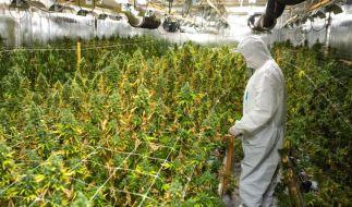 Im sächsischen Muldenhammer erschnuppern Polizisten eine Cannabis-Plantage (Foto)