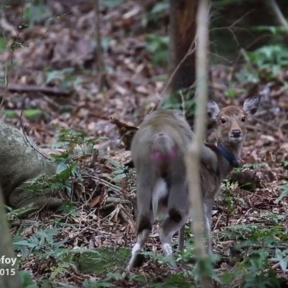 Bei Artgenossen abgeblitzt! Affe hat Sex mit Hirschkuh (Foto)