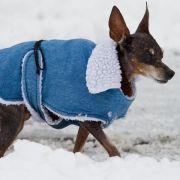 Unterkühlungsgefahr! So gefährlich sind Minusgrade für Hunde (Foto)