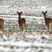 Auf einem verschneiten Feld nahe Marquardt Brandenburg steht dieses Rehwild in Reih und Glied.