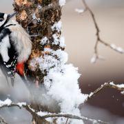 Auch der Tierwelt macht die Kälte zu schaffen.Dieser Buntspecht versucht sich an einem schneebedeckten Haselnussbaum in München.