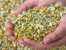 Der Kamillentee von Kusmi Tea ist mit Schadstoffen belastet. (Foto)