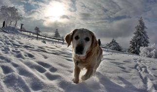 Hundedame Kelsey rettete ihren Besitzer Bob vor dem sicheren Erfrierungstod. (Symbolbild) (Foto)