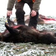 Jäger schlitzt trächtiges Wildschwein auf - 11 Frischlinge tot (Foto)