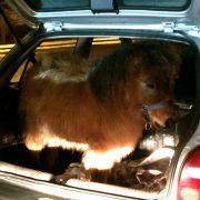 Paar fährt mit Pony im Kofferraum durch Brandenburg (Foto)