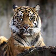 Tiger zerfleischt Familienvater in Wildpark (Foto)
