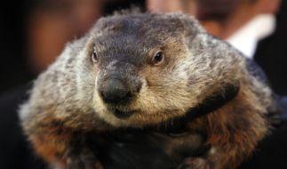 """Murmeltier Phil ist der Star am """"Groundhog Day"""", dem Murmeltiertag, der alljährlich am 2. Februar in den USA zelebriert wird. (Foto)"""