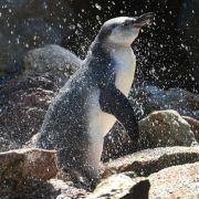 Vermisster Pinguin tot in Mannheim gefunden (Foto)
