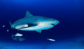 In Florida wurde ein halber Hai angespült (Symbolbild). (Foto)