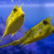 Dieser Fisch sieht aus wie Donald Trump! (Foto)