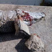 Brutal gesteinigt! Krokodil in tunesischem Zoo mit Steinen getötet (Foto)