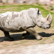 Nashorn in Zoo erschossen und Horn abgesägt (Foto)