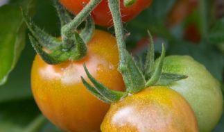 Fruchtgemüse wie die Tomate braucht viel Wärme um zu keimen. (Foto)