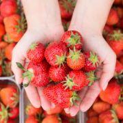 Pestizide bei 70 Prozent der Erdbeeren gefunden (Foto)