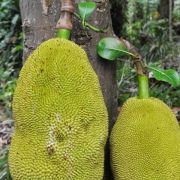 Jackfrüchte wachsen in den tropischen Gebieten Asiens. In der internationalen Küche werden sie inzwischen gern als Fleischersatz verwendet.