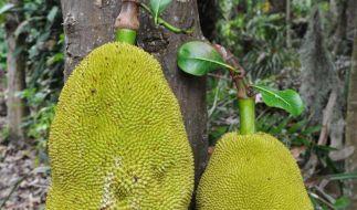 Jackfrüchte wachsen in den tropischen Gebieten Asiens. In der internationalen Küche werden sie inzwischen gern als Fleischersatz verwendet. (Foto)