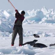 Jagd auf Robben vor der Küste Kanadas vorzeitig eröffnet (Foto)