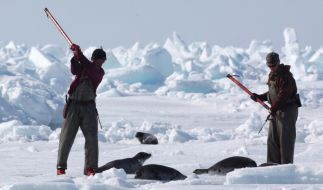 Rund zwei Wochen vor der regulären Jagdsaison hat die kanadische Regierung die Robbenjagd eröffnet. (Foto)