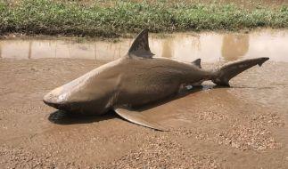Ein toter Bullenhai wurde nach dem Zyklon Debbie in Australien an Land gespült. (Foto)