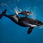 Das ist das letzte Orca-Baby im Seaworld-Vergnügungspark (Foto)