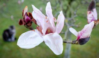 Eine blühende Magnolie im Frühling. (Foto)
