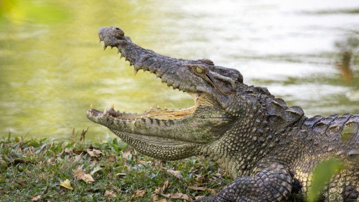 In Afrika wurde ein Großwildjäger offenbar von Krokodilen gefressen. (Foto)
