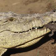 Exotische Haustiere? Mann versteckt drei Krokodile und zwei Löwen (Foto)