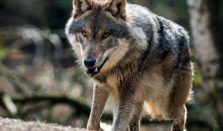 Wölfe erobern Deutschland. (Foto)