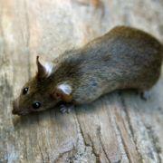 Mann fängt Ratte - und stellt sie an den Pranger (Foto)