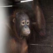 Orang-Utan auf Borneo zwei Jahre lang in dunkler Holzkiste gefangen (Foto)