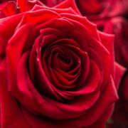 Verheerendes Testergebnis! Rosen sind mit Pestiziden belastet (Foto)