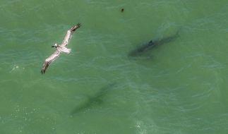 Mehrere Weiße Haie umzingeln Stehpaddler. (Foto)