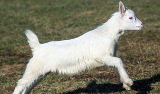 In Indien wurde eine Ziege mit nur einem Auge geboren (Symbolbild). (Foto)