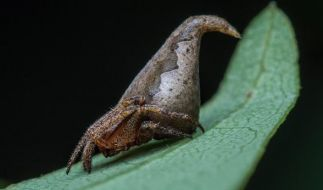 Die Mini-Spinne Eriovixia gryffindori wurde nach einer Harry-Potter-Figur benannt. (Foto)