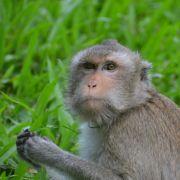 DIESER Affe hat extremes Übergewicht (Foto)