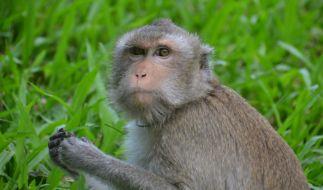 In Thailand sorgt ein fetter Affe für Aufsehen. (Foto)