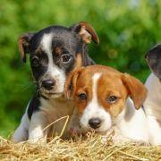Getrocknete Hundewelpen auf Tattoo-Convention verkauft (Foto)