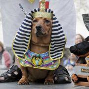 Ach du dicker Hund! Diese kostümierten Dackel sind der Brüller (Foto)