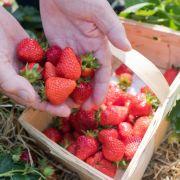 Preisschock! Deshalb werden Erdbeeren teurer (Foto)