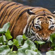 Tierpflegerin von Tiger zerfleischt (Foto)