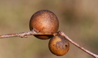 Die Nester der Gall-Wespe sollen angeblich die Vagina verjüngen. (Foto)