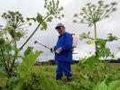 Ein Mann besprüht Riesenbärenklau mit einem Pflanzenvernichtungsmittel: Die Staude breitet sich immer weiter aus. (Foto)
