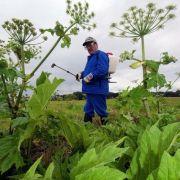 DIESE giftige Pflanze verursacht fiese Verbrennungen (Foto)
