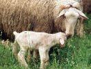 Gibt es im Juni 2017 die Schafskälte? (Foto)