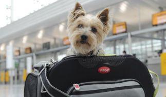 Kleine Tiere gelten auf Flugreisen in der Regel als Handgepäck. Die Airlines geben individuelle Grenzen für die Maße der Transportbox sowie das Gewicht des Vierbeiners vor. (Foto)