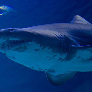 2-Meter-Hai sorgt für Bade-Verbot am Ballermann (Foto)