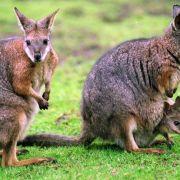 Widerliche Tierquäler! Totes Känguru mit Flasche aufgebahrt (Foto)