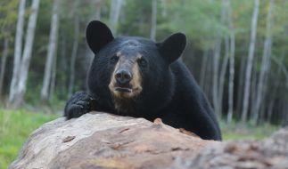 Ein Schwarzbär hat in den USA einen Camper angefallen. (Foto)