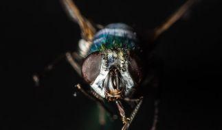 Wie vertreibt man Fliegen effektiv? Wir verraten es Ihnen. (Foto)