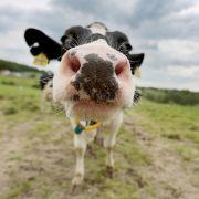 Mann (60) gesteht Mehrfach-Sex mit Kuh (Foto)